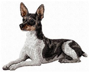 Rat Terrier - DD135