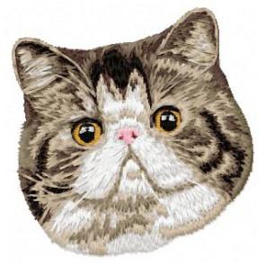 Exotic Shorthair Cat - CD1