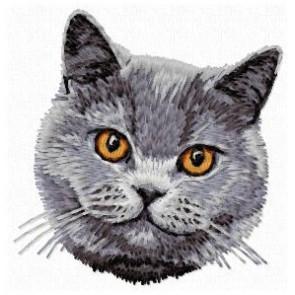 British Shorthair Cat - CD9