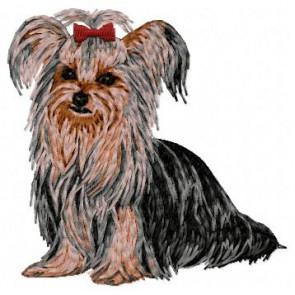 Yorkshire Terrier - DD101
