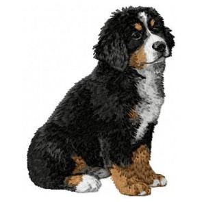 Bernese Mountain Dog - DD8