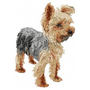 Yorkshire Terrier - DD98